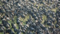 The first thing I learned about the Great Migration, one of the worlds awe-inspiring natural phenomena, is that it is not, in fact, natural. Contrary to my romantic miscalculations, the...